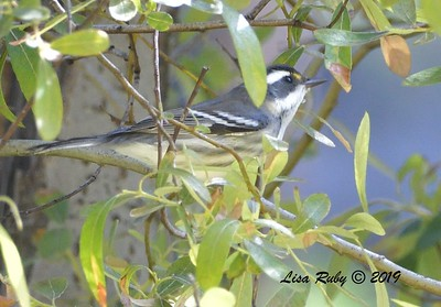 Black-throated Gray Warbler  - 9/1/2019 - Agua Dulce Creek, Mount Laguna