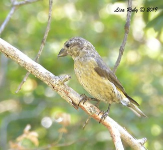 Red Crossbill #1, 10:09 am  - 9/1/2019 - Agua Dulce Creek, Mount Laguna