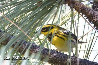 Townsend's Warbler  - 9/1/2019 - Agua Dulce Creek, Mount Laguna