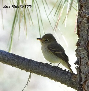 Pacific-slope Flycatcher  - 9/8/2019 - Agua Dulce, Mount Laguna