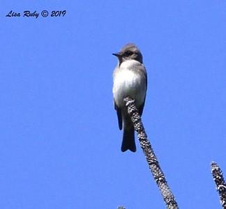 Juvenile Tree Swallow  - 9/8/2019 - Agua Dulce, Mount Laguna