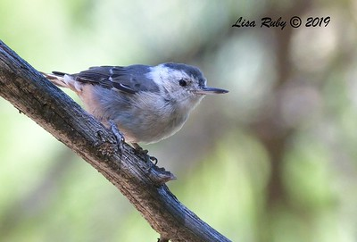 White-breasted Nuthatch  - 9/8/2019 - Agua Dulce, Mount Laguna
