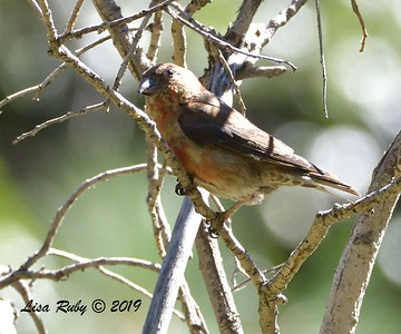 Red Crossbill  - 9/8/2019 - Agua Dulce, Mount Laguna