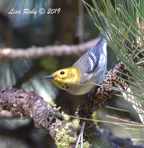 Hermit Warbler  - 9/8/2019 - Agua Dulce, Mount Laguna