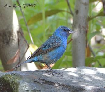 Indigo Bunting  - 7/28/2019 - Bird & Butterfly Garden