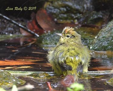 Orange-crowned Warbler  - 7/28/2019 - Bird & Butterfly Garden