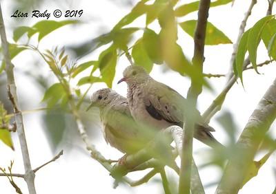 Common Ground Doves  - 7/28/2019 - Bird & Butterfly Garden