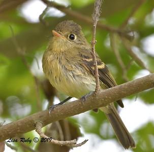 Pacific-slope Flycatcher  - 7/28/2019 - Bird & Butterfly Garden