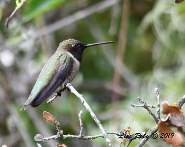 Black-chinned Hummingbird  - 5/12/2019 - Sabre Springs South Creek trail