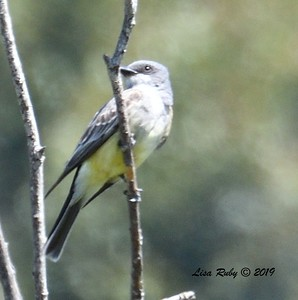 Kingbird (Western or Cassin's, tail has me confused)  - 5/12/2019 - Sabre Springs South Creek trail