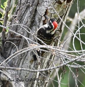 Nuttall's Woodpecker - 5/12/2019 - Sabre Springs South Creek trail
