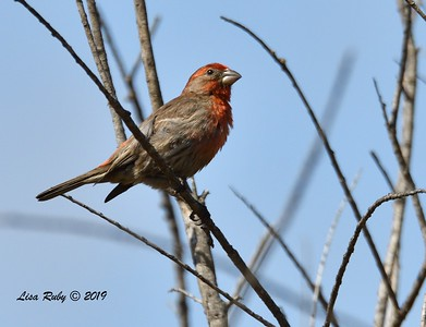 House Finch  - 5/12/2019 - Sabre Springs South Creek trail