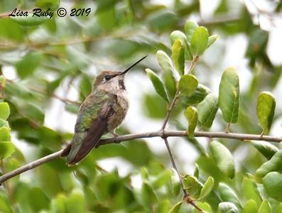 Anna's Hummingbird  - 5/12/2019 - Sabre Springs South Creek trail