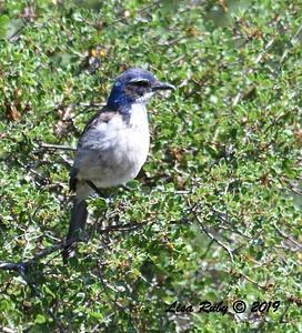 California Scrub Jay  - 5/12/2019 - Sabre Springs South Creek trail