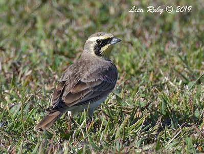 Horned Lark  - 10/11/2019 - Crown Point