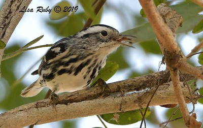 Black-and-white Warbler  - 10/11/2019 - Vacation Isle, Paradise Resort