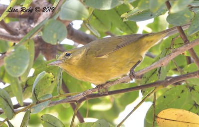 Orange-crowned Warbler  - 10/11/2019 - Vacation Isle, Paradise Resort
