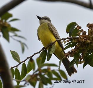 Tropical Kingbird  - 9/27/2019 - Fort Rosecrans National Cemetery