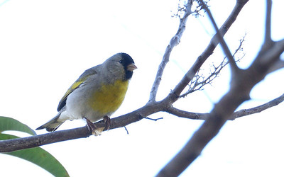 Lawrence's Goldfinch - 5/3/2019 - Flintkote, Torrey Pines State Reserve