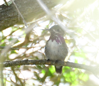 Calliope Hummingbird  - 4/28/2019 - Flintkote - Torrey Pines State Reserve