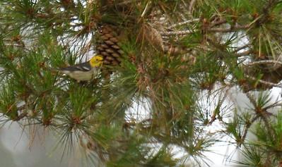 Hermit Warbler  - 4/28/2019 - Flintkote - Torrey Pines State Reserve
