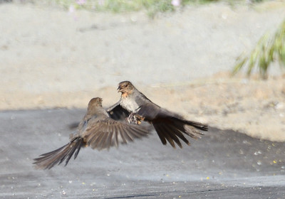 California Towhees Fighting - 5/3/2019 - Flintkote, Torrey Pines State Reserve