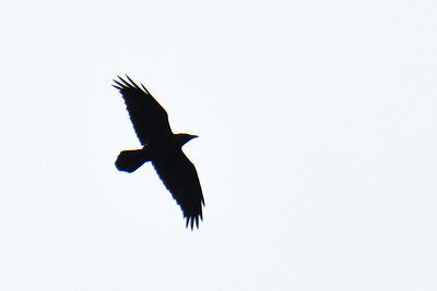 Common Raven  - 4/28/2019 - Flintkote - Torrey Pines State Reserve