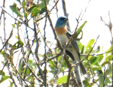 Lazuli Bunting  - 4/28/2019 - Flintkote - Torrey Pines State Reserve