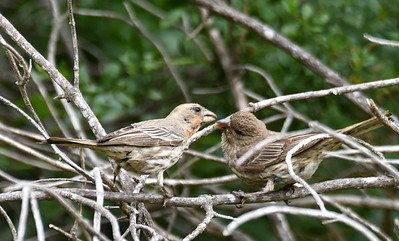 House Finches (dad and juvenile)  - 4/28/2019 - Flintkote - Torrey Pines State Reserve