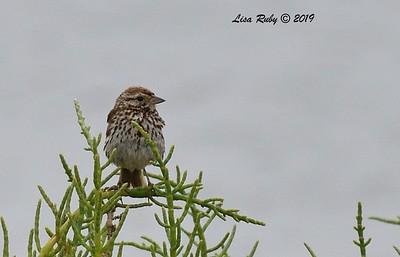 Savannah Sparrow  - 6/24/2019 - Imperial Beach, Seacoast to river mouth