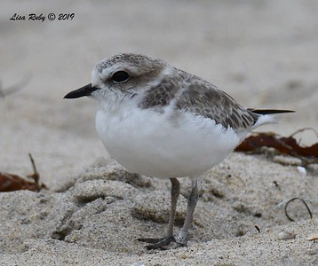Snowy Plover  - 6/24/2019 - Imperial Beach, Seacoast to river mouth
