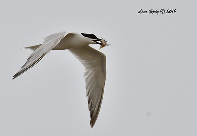 Gull-billed Tern  - 6/24/2019 - Imperial Beach, Seacoast to river mouth