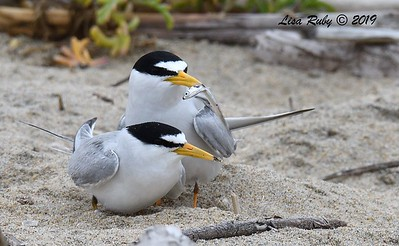 Least Tern Pair  - 6/24/2019 - Imperial Beach, Seacoast to river mouth