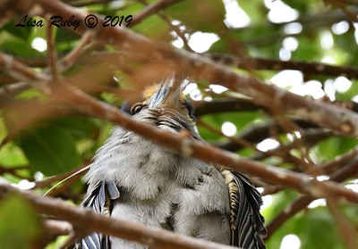 Yellow-crowned Night Heron in Nest Tree  - 6/24/2019 - Imperial Beach Sports Park
