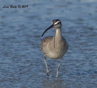 Whimbrel  - 8/25/2019 - Imperial Beach near pier