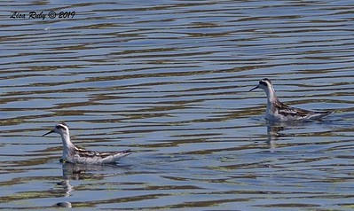 Red-necked Phalaropes -  - 8/25/2019 - Imperial Beach near pier