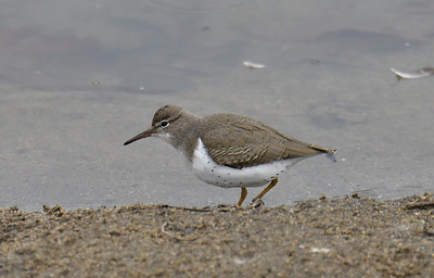 Spotted Sandpiper - 1/5/2019 - Kit Carson Park