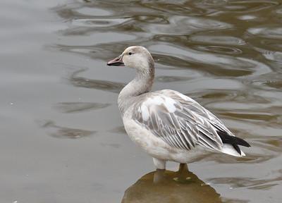 Snow Goose - 1/5/2019 - Kit Carson Park