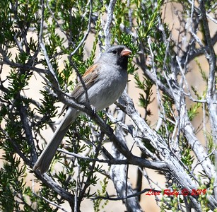Black-chinned Sparrow  - 5/15/2019 - Kitchen Creek, PCT east side