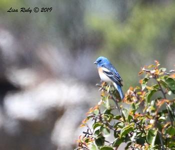 Lazuli Bunting  - 5/15/2019 - Kitchen Creek, PCT east side