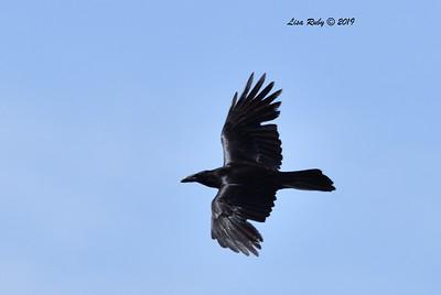 Raven  - 5/15/2019 - Kitchen Creek, PCT east side