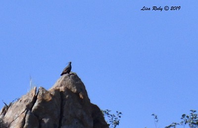 Awful photo of Mountain Quail  - 5/15/2019 - Kitchen Creek, PCT west side