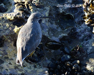 Wandering Tattler  - 3/8/2019 - La Jolla Children's Pool area