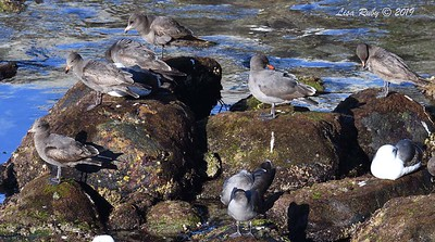 Heerman's Gulls and one Western Gull - 3/8/2019 - La Jolla Cove