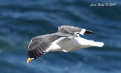 Western Gull - 3/8/2019 - La Jolla Cove