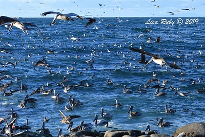 Pelicans, Gulls, Black-vented Shearwaters, Cormorants  - 3/8/2019 - La Jolla Cove