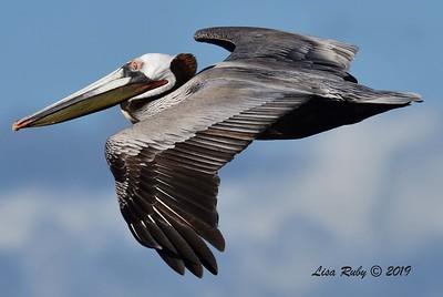 Brown Pelican - 3/8/2019 - La Jolla Cove