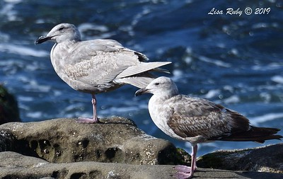 Glaucous Winged and Western Gulls - 3/8/2019 - La Jolla Cove
