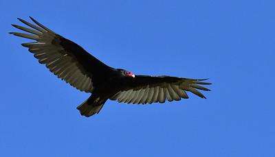Turkey Vulture  - 4/28/2019 - Lake Hodges Bernardo Bay Trail