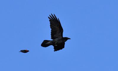 Raven and Red-winged Blackbird  - 4/28/2019 - Lake Hodges Bernardo Bay Trail